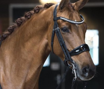 Hubertje BH - Excellent Dressage Sales